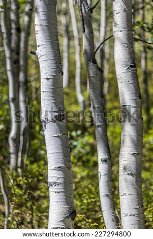 One Aspen tree trunk stands in sharp focus against more trunks, and yellow and green foliage  - stock photo