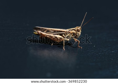 One beautiful natural sitting grasshopper locust insect wildlife beauty of nature side view closeup on dark background, horizontal picture - stock photo
