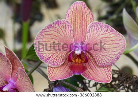 One beautiful pink orchid on the indoors background                                - stock photo