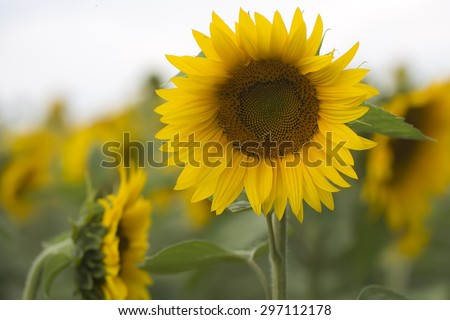 One beautiful round bright fresh blooming yellow sunflower with seeds in middle and green leaves in cultivated field on natural countryside background, horizontal picture - stock photo