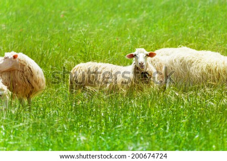 One beautiful sheep in the green field  - stock photo