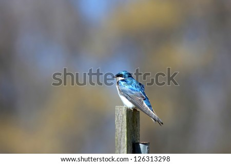 One beautiful tree swallow bird on the pole
