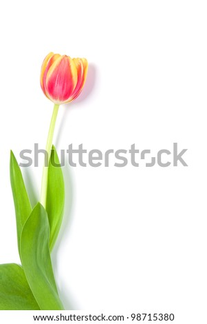 One beautiful tulip laying on a bright white paper