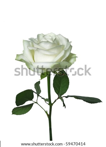 one beautiful white rose isolated on white .
