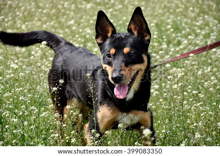 One beautiful young cute black and brown funny dog pet friend with smart eyes and pink tongue in meadow with white and green flowers sunny spring indoor, horizontal picture - stock photo