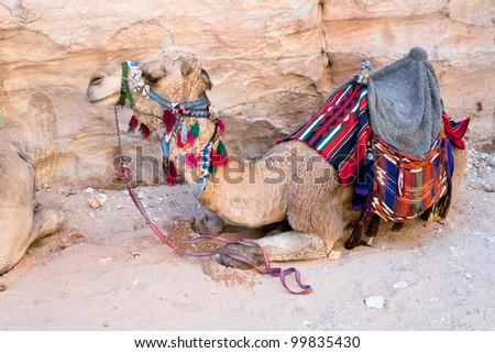 one bedouin camel in Petra, Jordan - stock photo