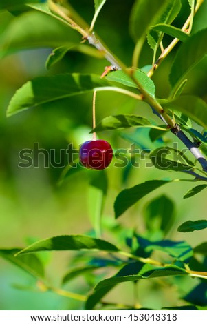 one berry cherries on a branch