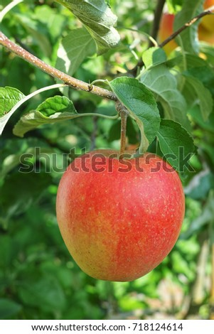 One big red ripe apple on the apple tree, ready to harvest, seasonal works in orchard, fruit garden