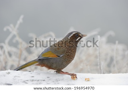 One bird clasps the snow covered tree branch. - stock photo