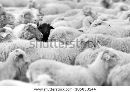 one black sheep in the herd of whites - stock photo