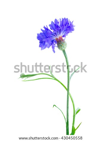 One blue cornflowers with bud isolated on white background - stock photo