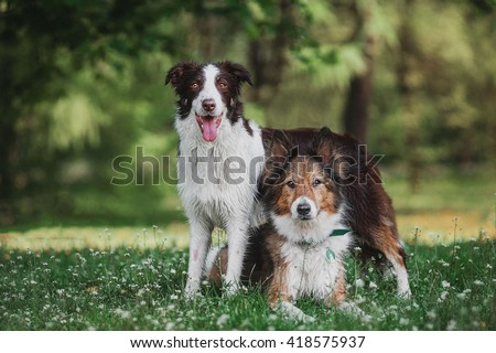 One border collie and one mongrel dog on the grass in summer