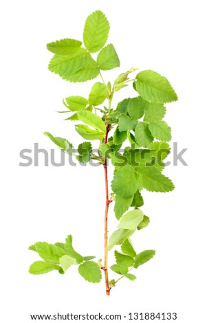 One branch with bud and green leaf of dog-rose. Isolated on white background. Close-up. Studio photography.