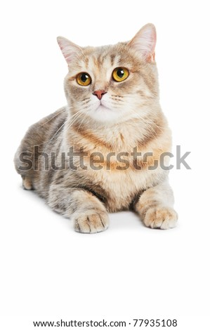 One british shorthair brown cream cat isolated
