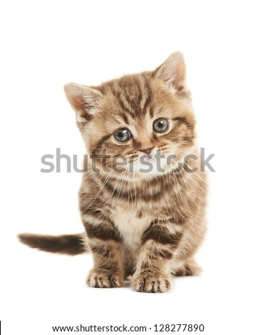 One british shorthair brown kitten cat isolated - stock photo