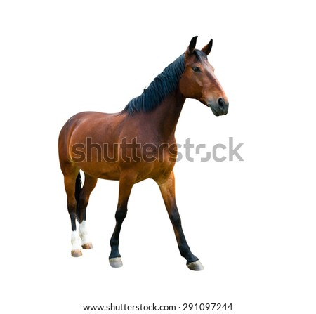 One brown horse, isolated on white background