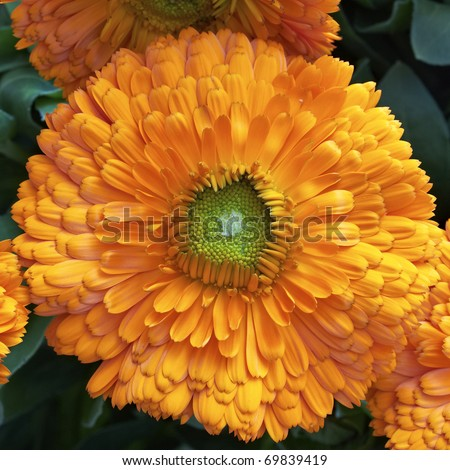 one calendula flower, natural background - stock photo