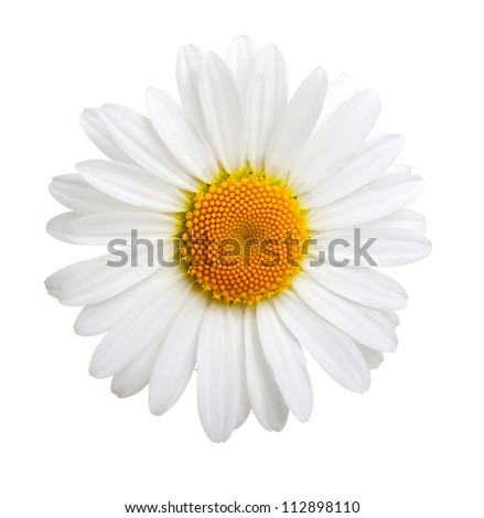 one camomile isolated on white background - stock photo