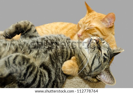 One cat grooming another cat isolated on grey background. - stock photo