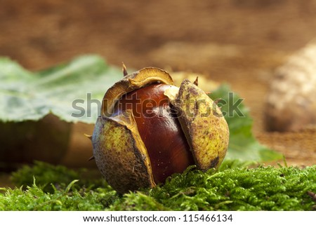 One chestnuts on green moss with autumn leaves in background