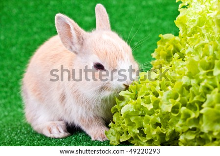 one cute little brown rabbit eating salad