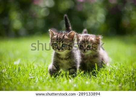 One cute little kitten walking on grass following the other one  - stock photo