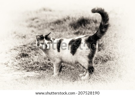 One cute mixed-breed cat standing on grass with its raised tail. Black and white fine art outdoors portrait of calico domestic cat. - stock photo