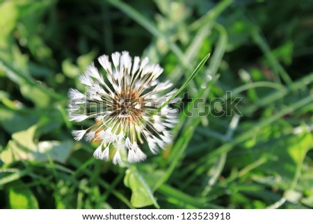 One dandelion on green background - stock photo