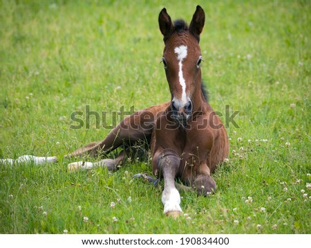 One day old foal lying on pasture - stock photo