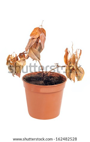 One dead plant in pot isolated on white background - stock photo