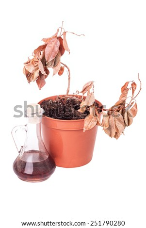One dead plants and dusty decanter isolated on white background - stock photo