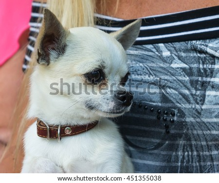 one dog breed chihuahua, white color, is sitting on the hands of a woman with long blonde hair