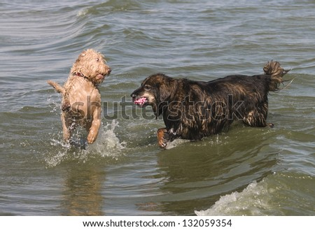 One dog retrieving the ball while the other challenges for the ball at the lake