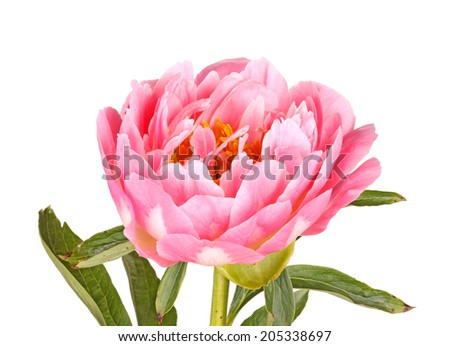 One double flower stem and leaves of a pink peony (Paeonia lactiflora) cultivar isolated against a white background
