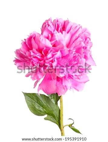 One double flower with water droplets, stem and leaf of a pink peony (Paeonia lactiflora) cultivar isolated against a white background - stock photo