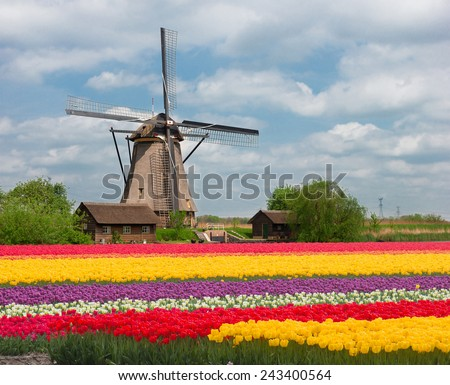 one dutch windmill over stripes of tulip flowers field in sunny day, Netherlands - stock photo