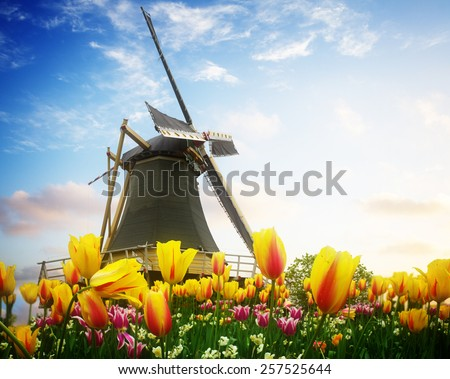 one dutch windmill over tulip flowers field in sunny day, Netherlands, retro toned - stock photo
