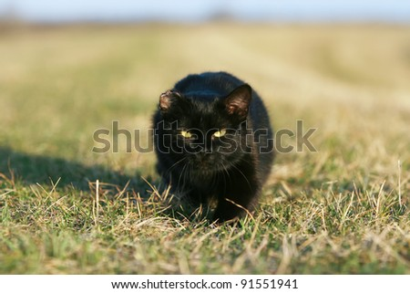 One-eared black cat. One eared black cat on the meadow is sneaking for a pray - stock photo