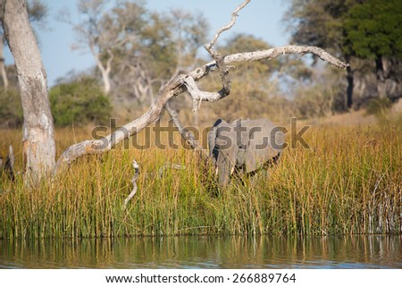 One elephant dwarfed by the reeds he's eating beside the water in the Linyanti swamps - stock photo