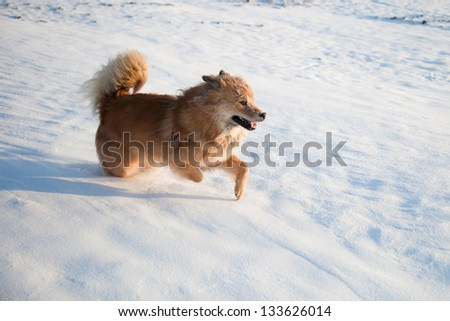 one elo dog is running frolic in the snow