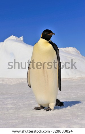 One Emperor Pinguin on the ice in Antarctica - stock photo