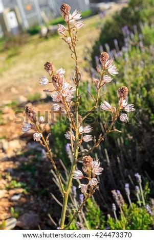 One flowering asphodelus on blurred background - stock photo
