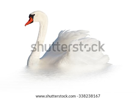 One fluffy white swan isolated on the white surface.