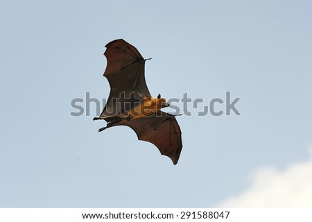 One flying fox on blue sky background