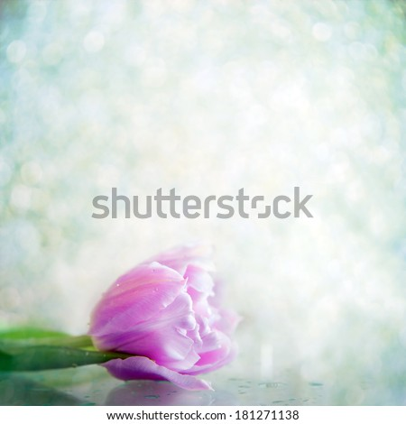 One gentle tulip flower in drops on a gray background - stock photo