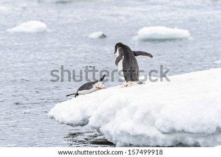One Gentoo penguin (Pygoscelis papua) jumps down into the water and the other one is watching - stock photo