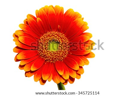 One Gerber flower isolated on white - stock photo