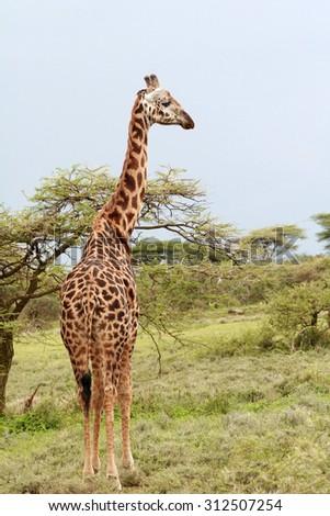 One giraffe grazing in the African bush, Serengeti Reserve, Tanzania. - stock photo