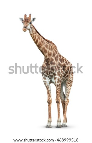 one giraffe is isolated on white background