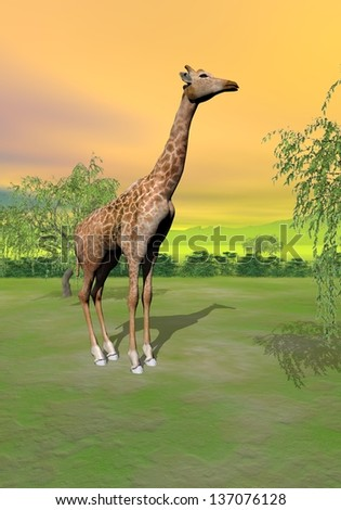 One giraffe standing next to a tree in the savannah by sunset - stock photo